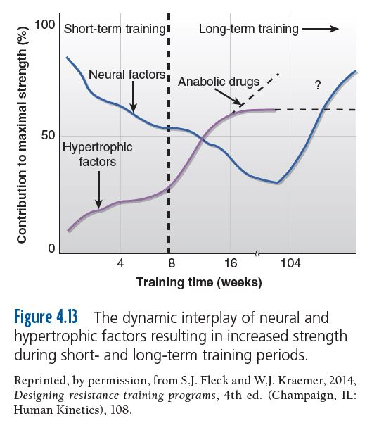The dynamic interplay of neural and hypertrophic factors resulting in increased strength during short- and long-term training periods.